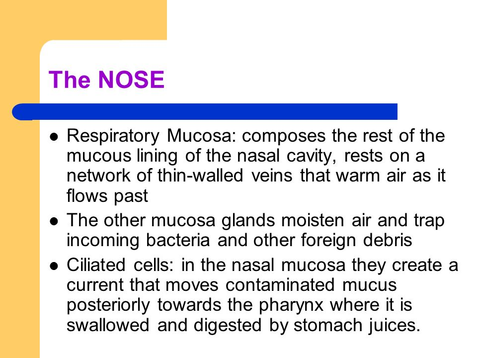 The NOSE Respiratory Mucosa: composes the rest of the mucous lining of the nasal cavity, rests on a network of thin-walled veins that warm air as it f