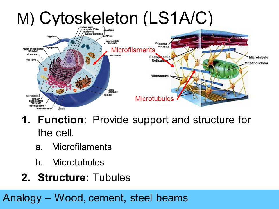 M) Cytoskeleton (LS1A/C) Analogy – Wood, cement, steel beams 1.Function: Provide support and structure for the cell.