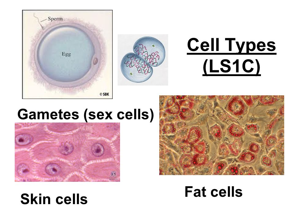 Gametes (sex cells) Skin cells Fat cells Cell Types (LS1C)