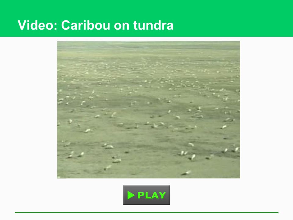 Video: Caribou on tundra