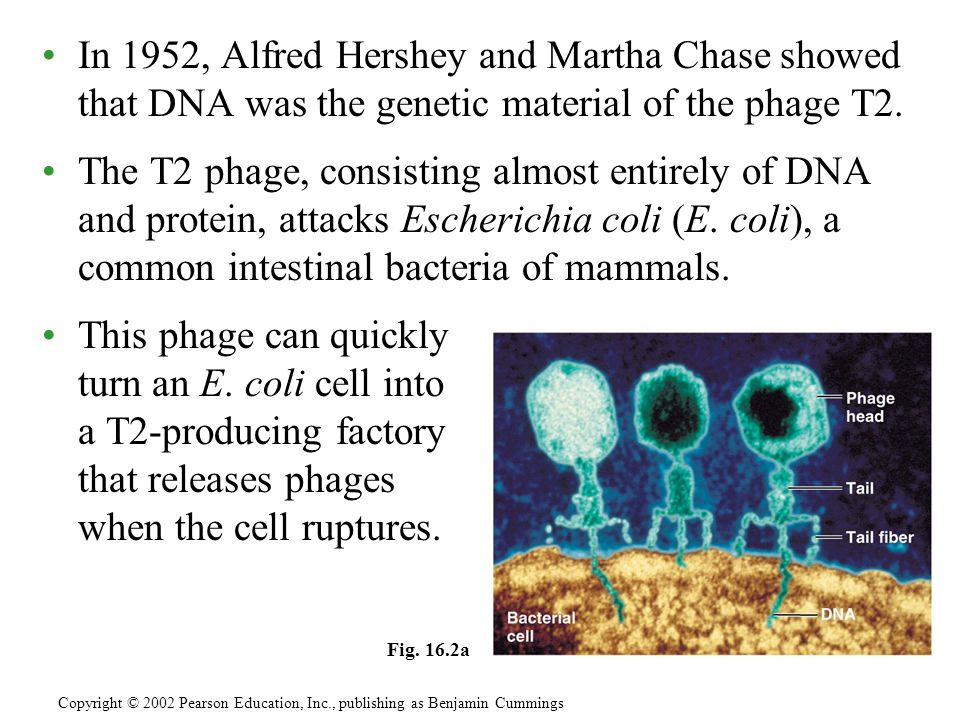 In 1952, Alfred Hershey and Martha Chase showed that DNA was the genetic material of the phage T2. The T2 phage, consisting almost entirely of DNA and