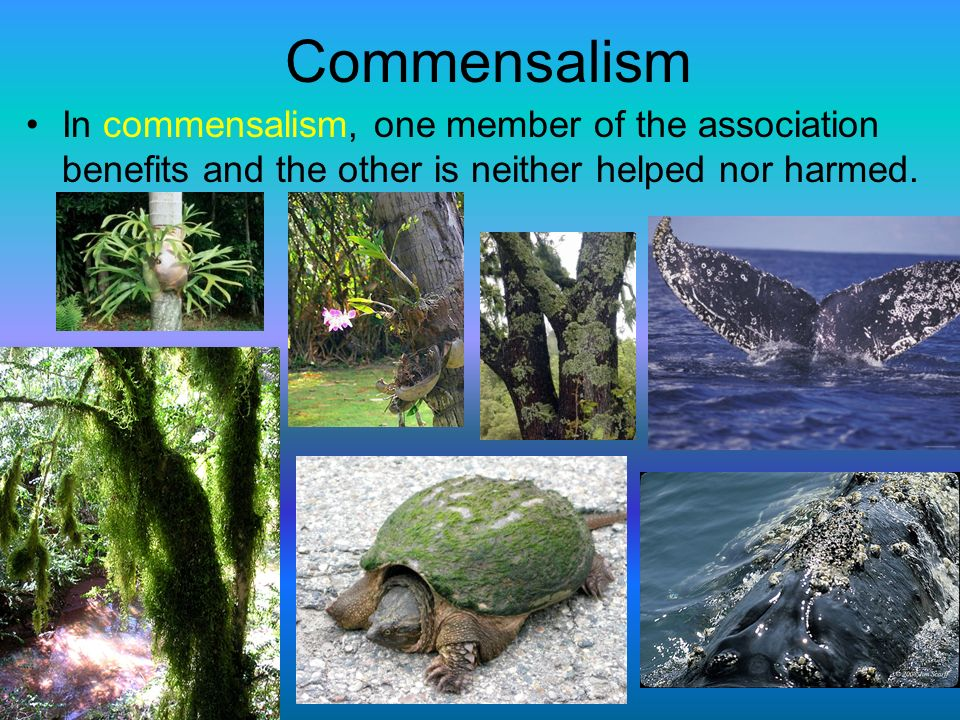 Commensalism In commensalism, one member of the association benefits and the other is neither helped nor harmed.