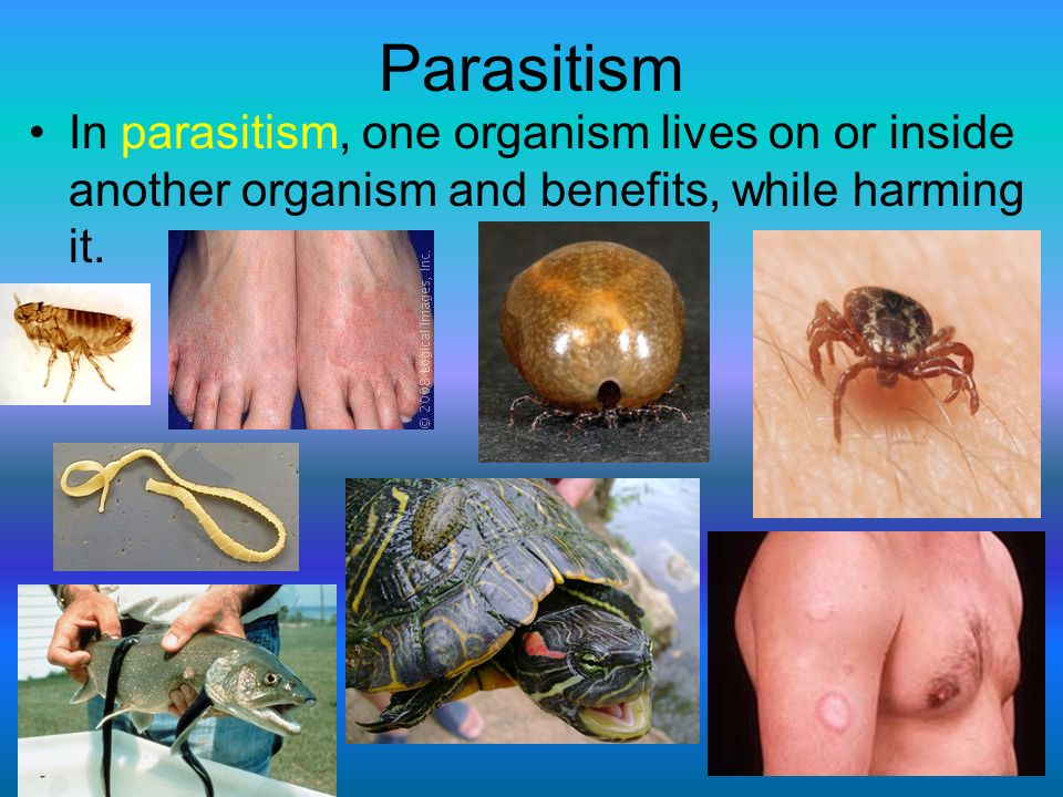 Parasitism In parasitism, one organism lives on or inside another organism and benefits, while harming it.