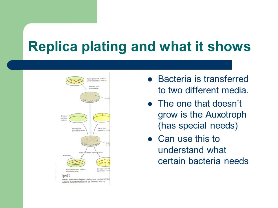 Replica plating and what it shows Bacteria is transferred to two different media. The one that doesnt grow is the Auxotroph (has special needs) Can us