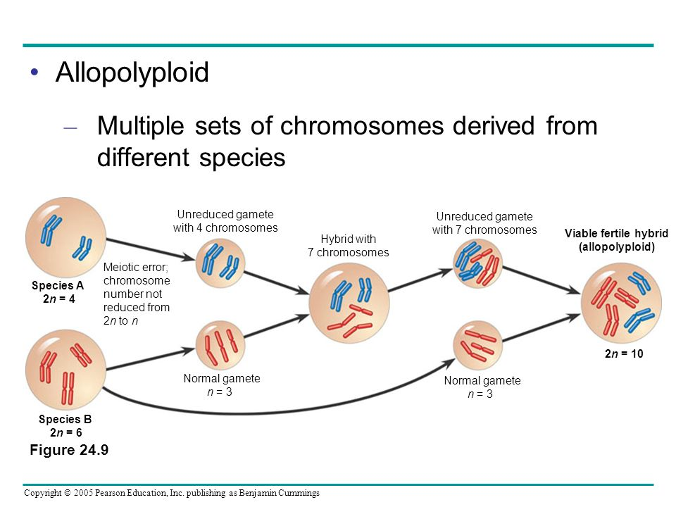 Copyright © 2005 Pearson Education, Inc. publishing as Benjamin Cummings Allopolyploid – Multiple sets of chromosomes derived from different species F