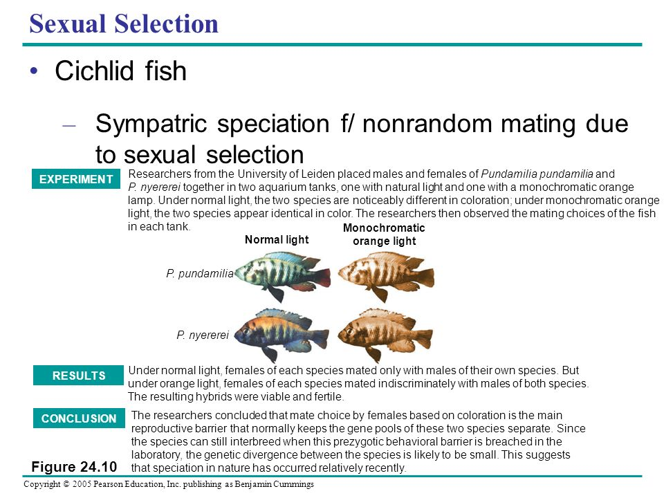 Copyright © 2005 Pearson Education, Inc. publishing as Benjamin Cummings Sexual Selection Cichlid fish – Sympatric speciation f/ nonrandom mating due