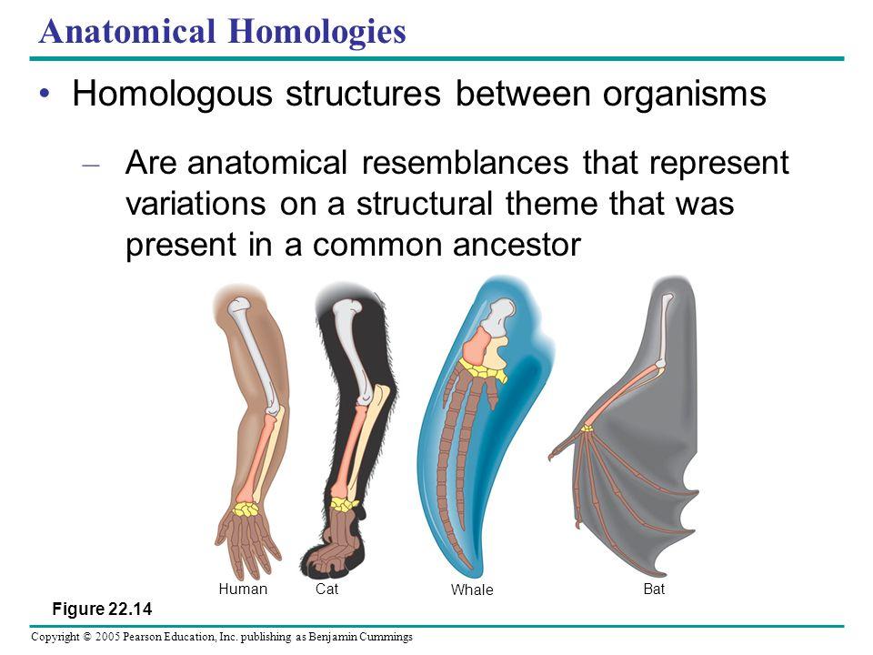 Copyright © 2005 Pearson Education, Inc. publishing as Benjamin Cummings Anatomical Homologies Homologous structures between organisms – Are anatomica