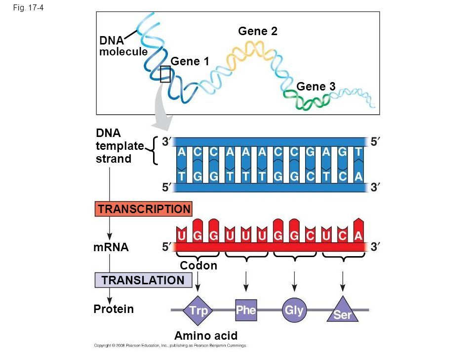 Fig. 17-4 DNA molecule Gene 1 Gene 2 Gene 3 DNA template strand TRANSCRIPTION TRANSLATION mRNA Protein Codon Amino acid