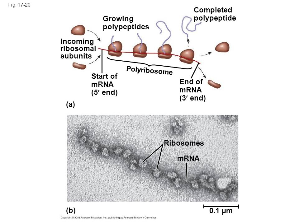 Fig. 17-20 Growing polypeptides Completed polypeptide Incoming ribosomal subunits Start of mRNA (5 end) Polyribosome End of mRNA (3 end) (a) Ribosomes