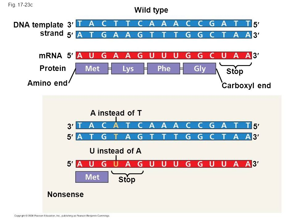 Fig. 17-23c Wild type DNA template strand 3 5 mRNA Protein 5 Amino end Stop Carboxyl end 5 3 3 A instead of T U instead of A 3 3 3 5 5 5 Stop Nonsense
