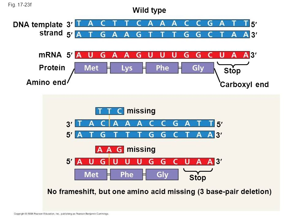 Fig. 17-23f Wild type DNA template strand 3 5 mRNA Protein 5 Amino end Stop Carboxyl end 5 3 3 missing 3 3 3 5 5 5 No frameshift, but one amino acid m