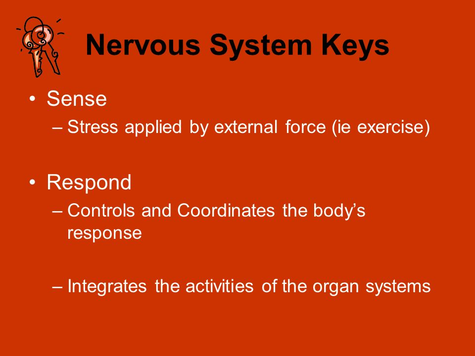 Nervous System Keys Sense –Stress applied by external force (ie exercise) Respond –Controls and Coordinates the bodys response –Integrates the activit