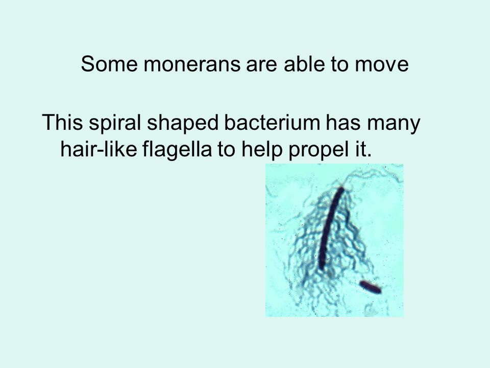 Some monerans are able to move This spiral shaped bacterium has many hair-like flagella to help propel it.