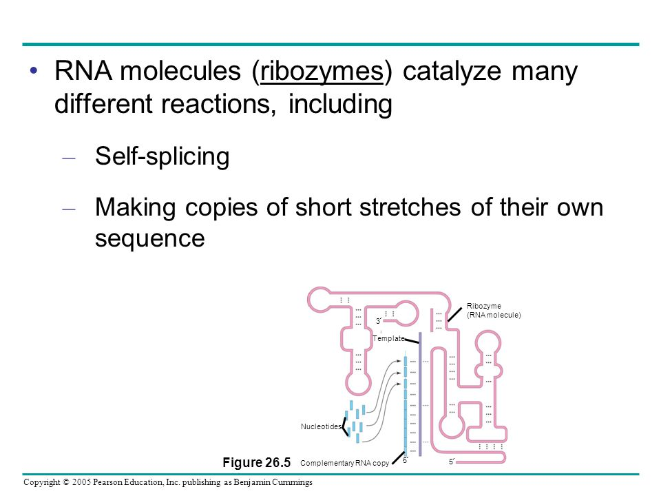Copyright © 2005 Pearson Education, Inc. publishing as Benjamin Cummings RNA molecules (ribozymes) catalyze many different reactions, including – Self