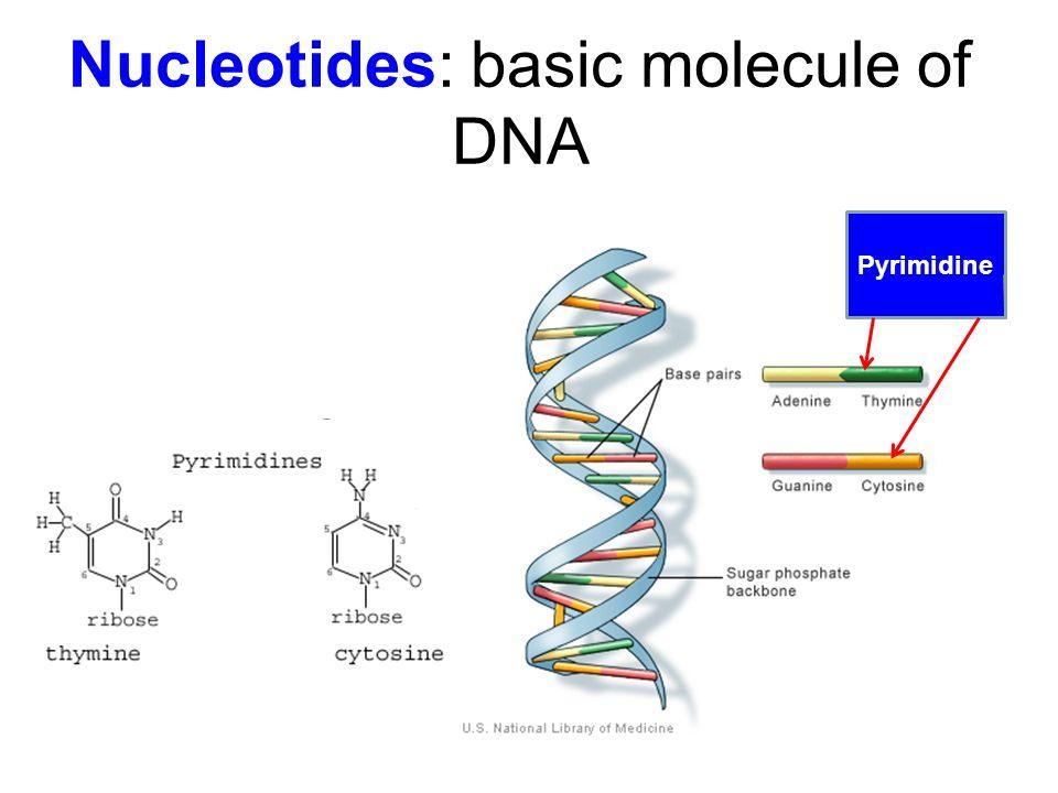 Nucleotides: basic molecule of DNA Pyrimidine