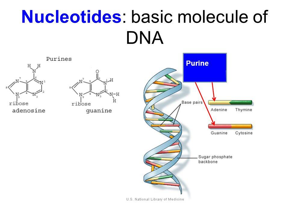 Nucleotides: basic molecule of DNA Purine