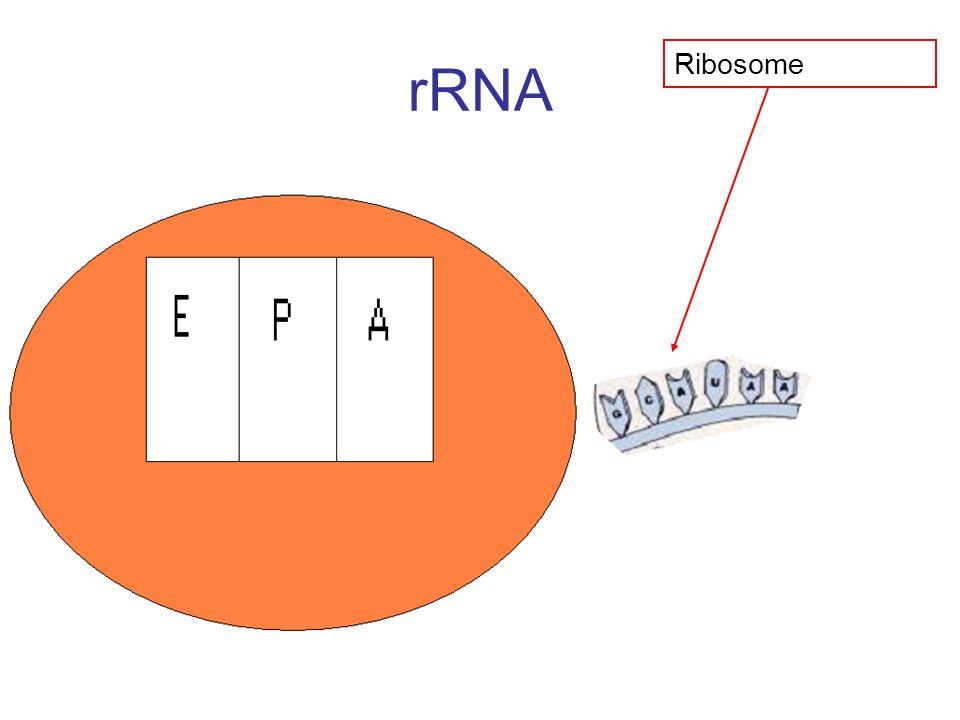 rRNA Ribosome