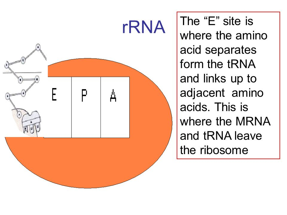 rRNA The E site is where the amino acid separates form the tRNA and links up to adjacent amino acids. This is where the MRNA and tRNA leave the riboso