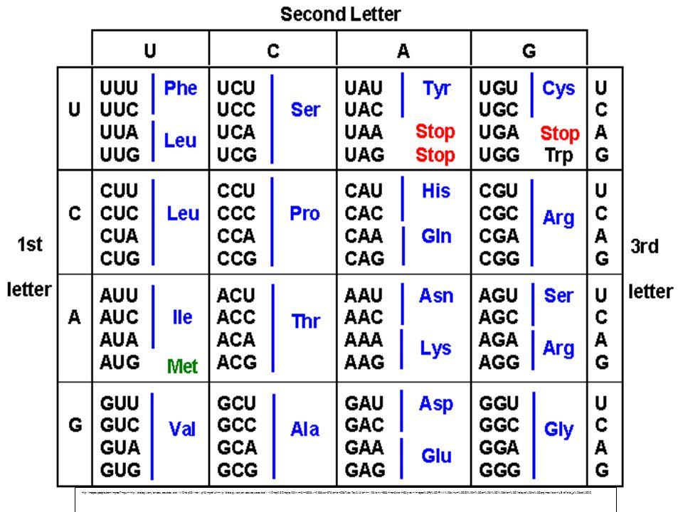 http://images.google.com/imgres?imgurl=http://biology.kenyon.edu/courses/biol114/Chap05/trna-1.gif&imgrefurl=http://biology.kenyon.edu/courses/biol114