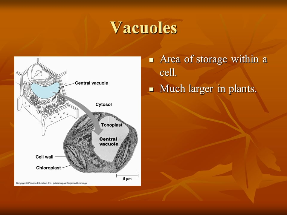 Vacuoles Area of storage within a cell. Area of storage within a cell. Much larger in plants. Much larger in plants.