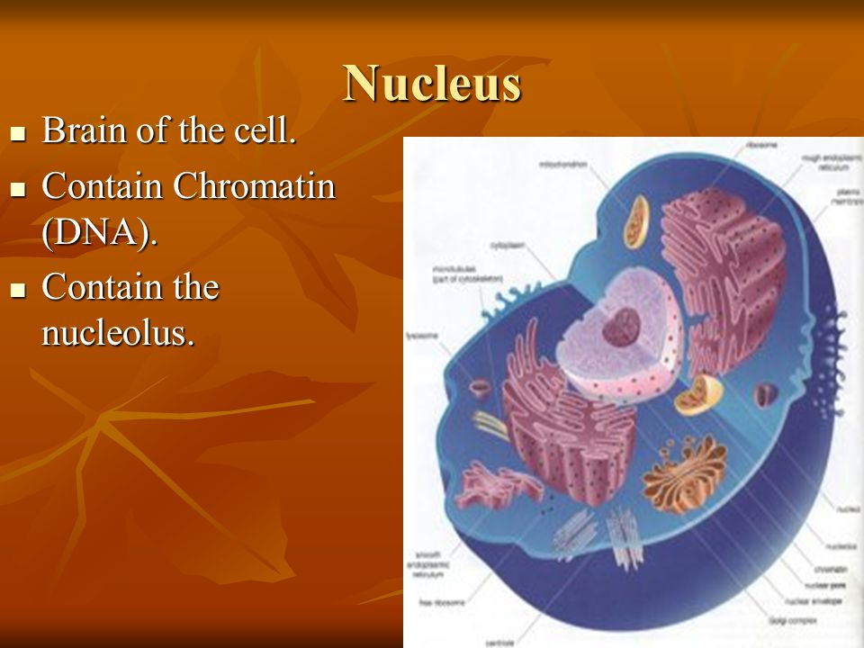 Nucleus Brain of the cell. Brain of the cell. Contain Chromatin (DNA). Contain Chromatin (DNA). Contain the nucleolus. Contain the nucleolus.
