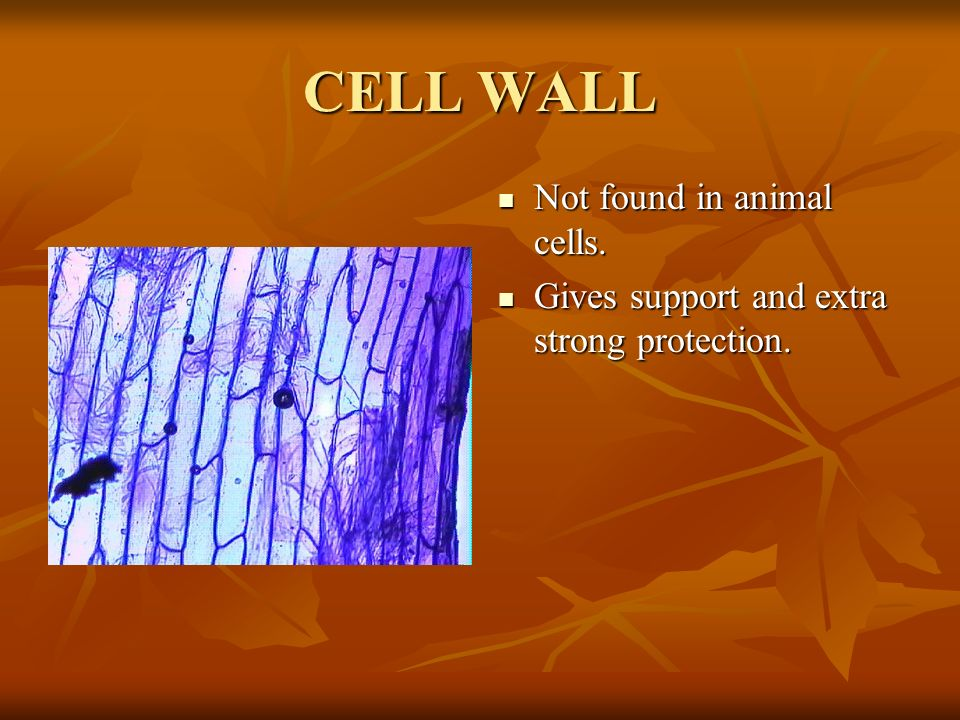 CELL WALL Not found in animal cells. Not found in animal cells. Gives support and extra strong protection. Gives support and extra strong protection.