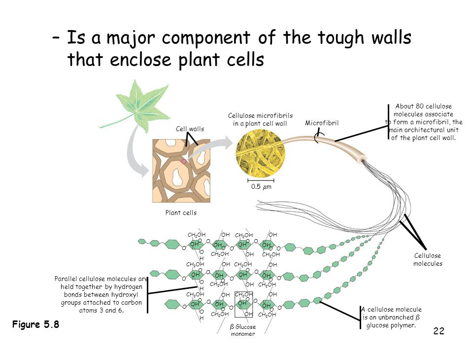 22 Plant cells 0.5 m Cell walls Cellulose microfibrils in a plant cell wall Microfibril CH 2 OH OH OHOH O O O CH 2 OH O O OH O CH 2 OH OH O O CH 2 OH