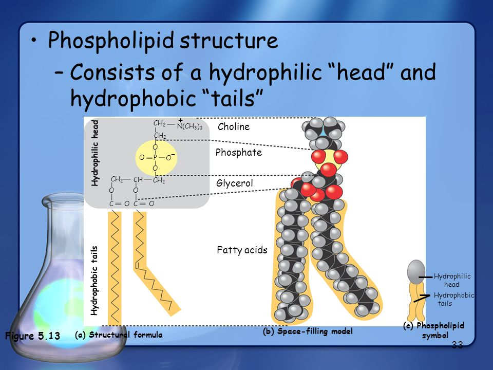 33 Phospholipid structure –Consists of a hydrophilic head and hydrophobic tails CH 2 O P O O O CH CH 2 OO C O C O Phosphate Glycerol (a) Structural fo