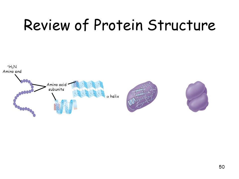 50 Review of Protein Structure + H 3 N Amino end Amino acid subunits helix