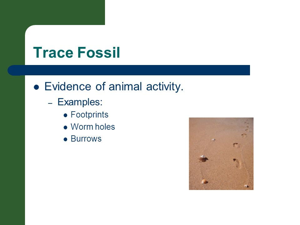 Trace Fossil Evidence of animal activity. – Examples: Footprints Worm holes Burrows