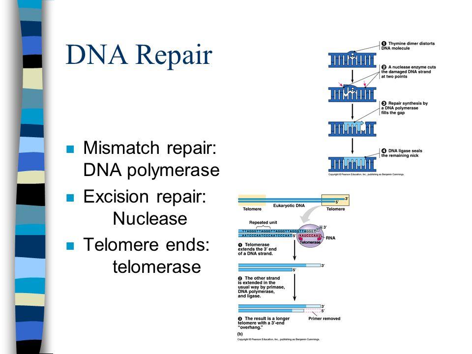 DNA Repair n Mismatch repair: DNA polymerase n Excision repair: Nuclease n Telomere ends: telomerase
