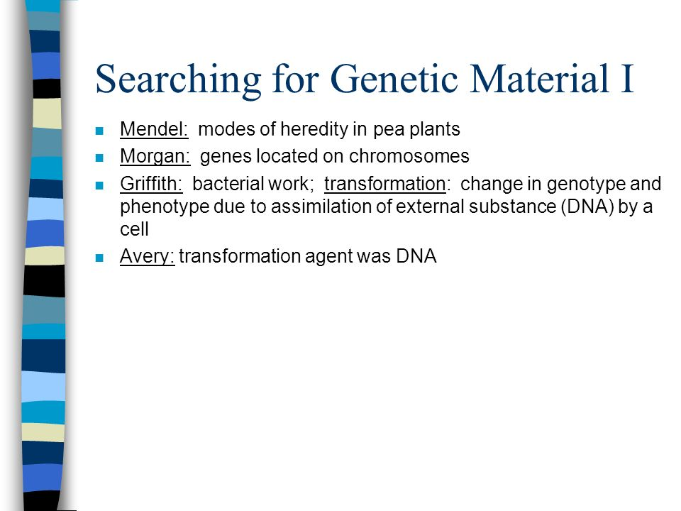 Searching for Genetic Material I n Mendel: modes of heredity in pea plants n Morgan: genes located on chromosomes n Griffith: bacterial work; transfor