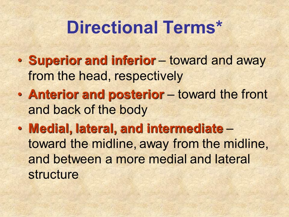 Directional Terms* Superior and inferiorSuperior and inferior – toward and away from the head, respectively Anterior and posteriorAnterior and posteri