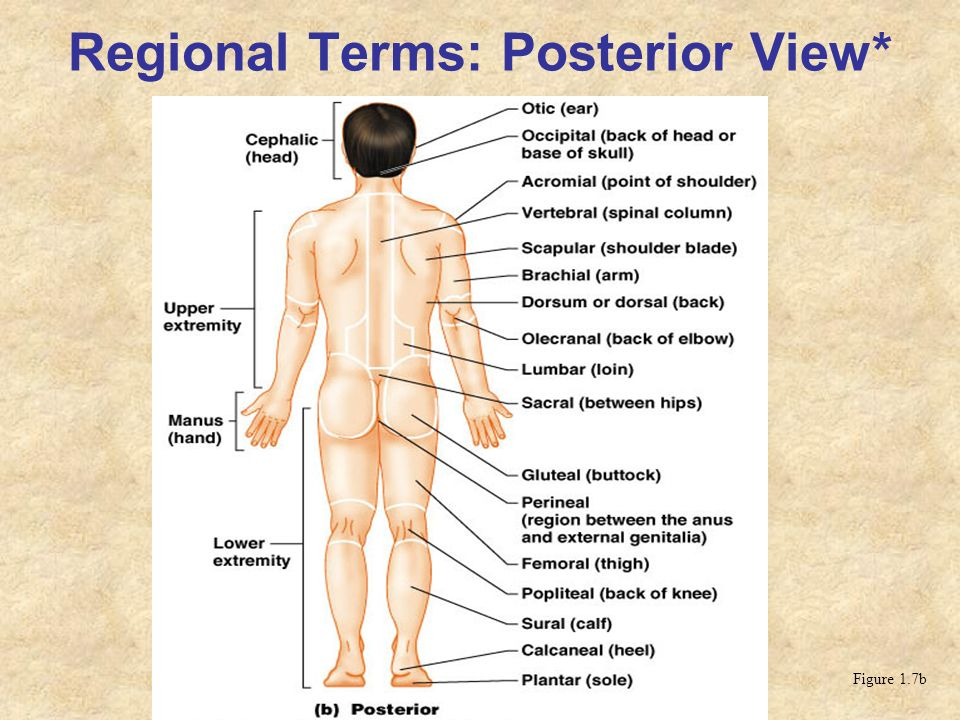 Regional Terms: Posterior View* Figure 1.7b