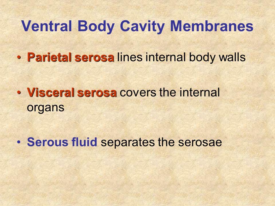Ventral Body Cavity Membranes Parietal serosaParietal serosa lines internal body walls Visceral serosaVisceral serosa covers the internal organs Serou