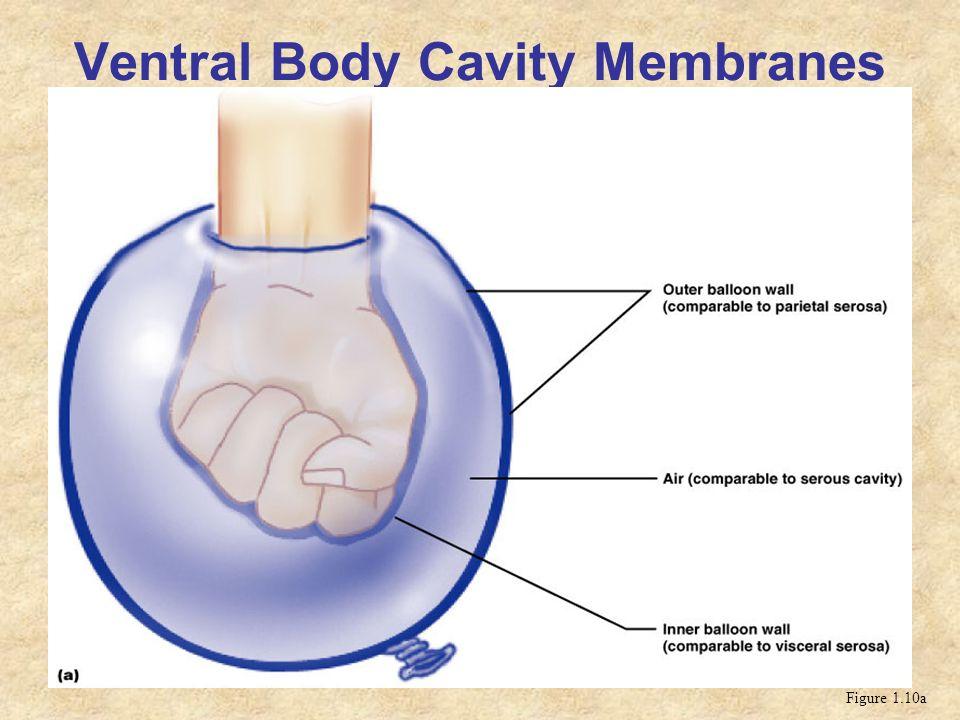 Ventral Body Cavity Membranes Figure 1.10a