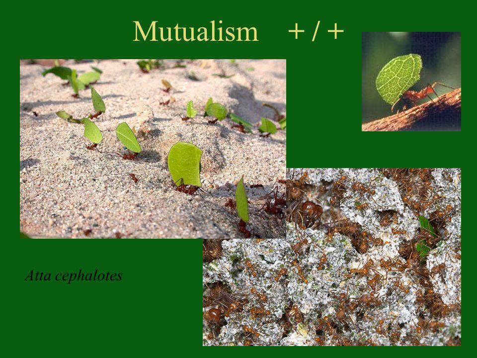 Mutualism + / + Atta cephalotes