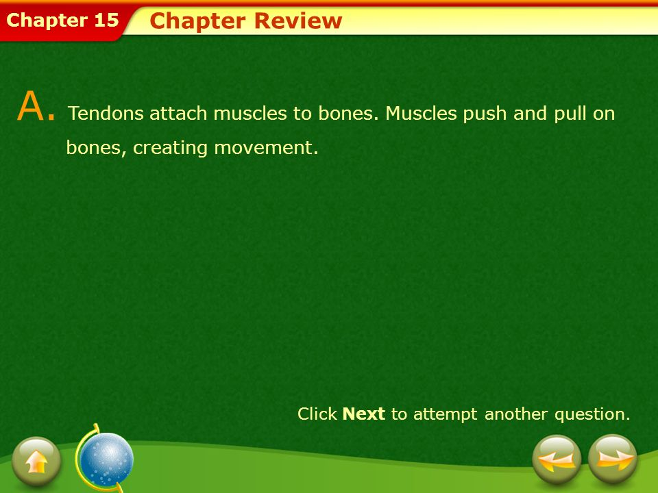 Chapter 15 Chapter Review Click Next to attempt another question. A. Tendons attach muscles to bones. Muscles push and pull on bones, creating movemen