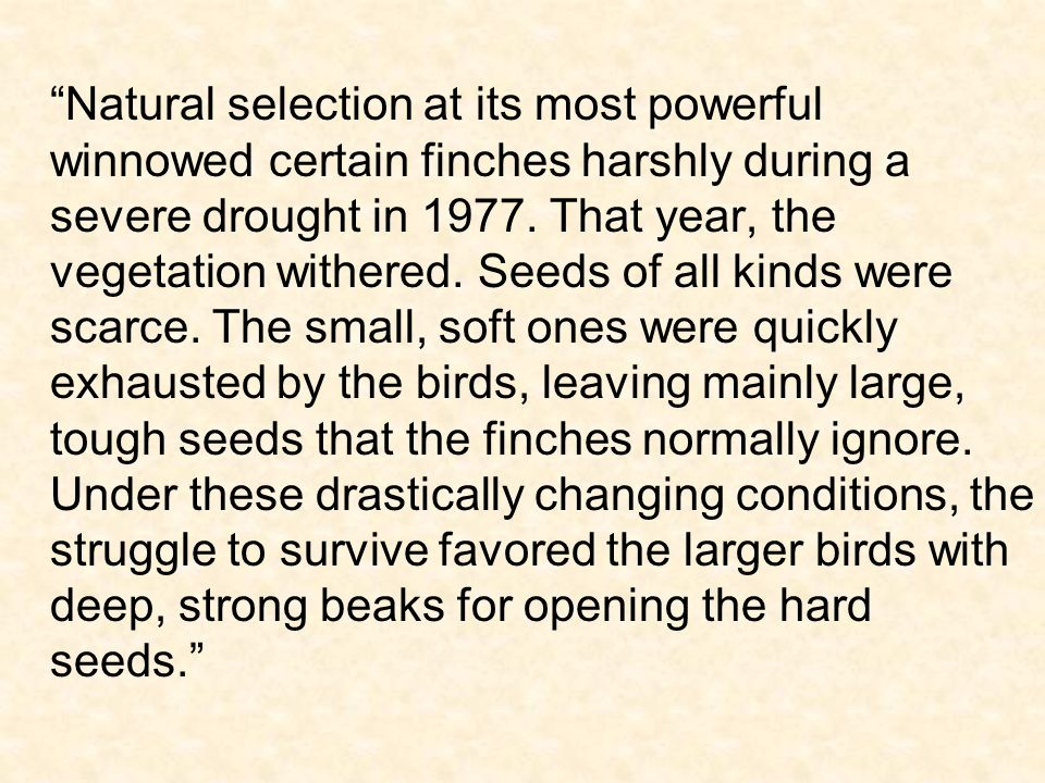 Natural selection at its most powerful winnowed certain finches harshly during a severe drought in 1977. That year, the vegetation withered. Seeds of
