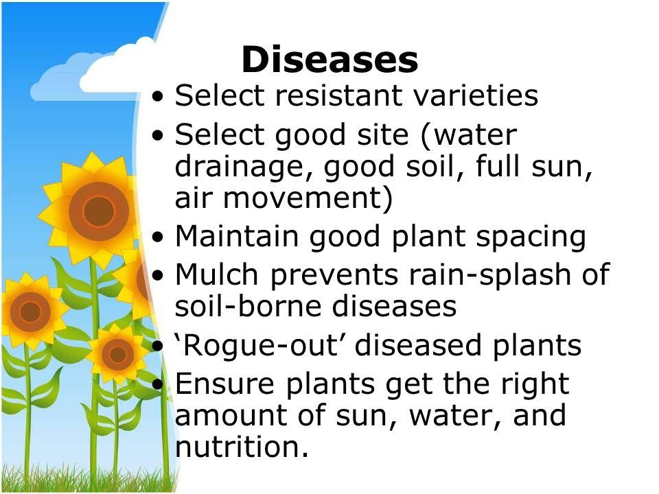 Diseases Select resistant varieties Select good site (water drainage, good soil, full sun, air movement) Maintain good plant spacing Mulch prevents ra