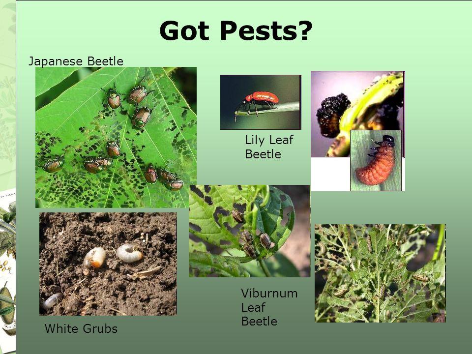 Got Pests? Viburnum Leaf Beetle Lily Leaf Beetle Japanese Beetle White Grubs
