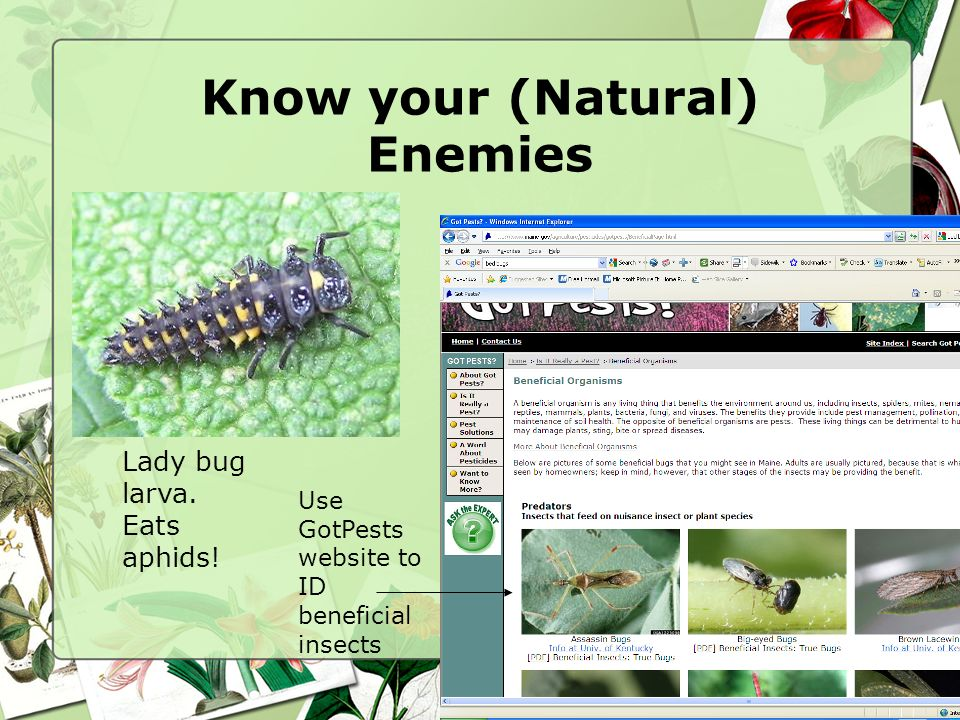 Know your (Natural) Enemies Lady bug larva. Eats aphids! Use GotPests website to ID beneficial insects