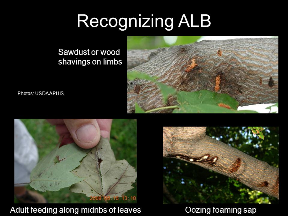 Recognizing ALB Oozing foaming sapAdult feeding along midribs of leaves Sawdust or wood shavings on limbs Photos: USDA APHIS