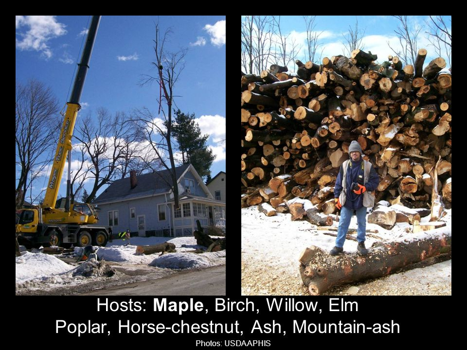 Hosts: Maple, Birch, Willow, Elm Poplar, Horse-chestnut, Ash, Mountain-ash Photos: USDA APHIS