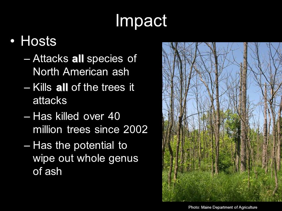 Impact Hosts all –Attacks all species of North American ash all –Kills all of the trees it attacks –Has killed over 40 million trees since 2002 –Has the potential to wipe out whole genus of ash Photo: Maine Department of Agriculture