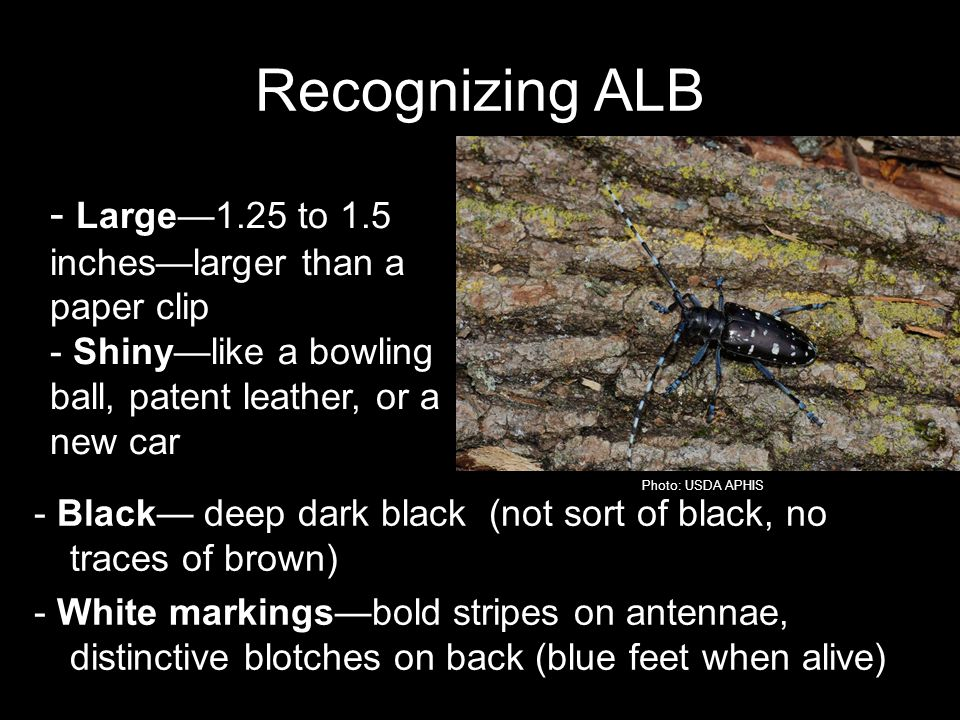 Recognizing ALB - Large1.25 to 1.5 incheslarger than a paper clip - Shinylike a bowling ball, patent leather, or a new car - Black deep dark black (not sort of black, no traces of brown) - White markingsbold stripes on antennae, distinctive blotches on back (blue feet when alive) Photo: USDA APHIS