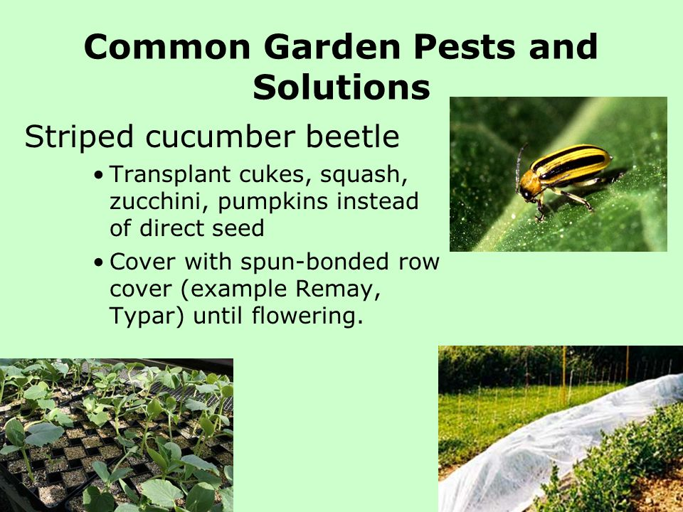 Common Garden Pests and Solutions Striped cucumber beetle Transplant cukes, squash, zucchini, pumpkins instead of direct seed Cover with spun-bonded r