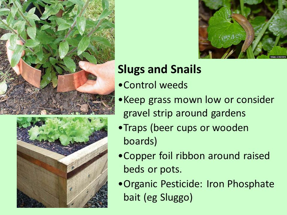 Slugs and Snails Control weeds Keep grass mown low or consider gravel strip around gardens Traps (beer cups or wooden boards) Copper foil ribbon aroun