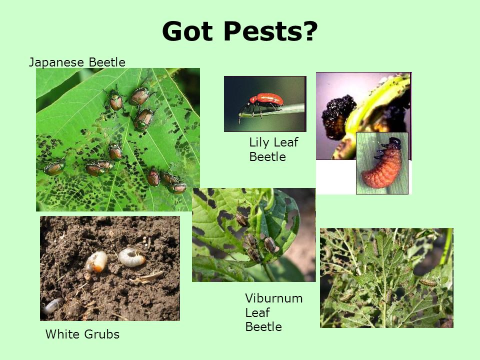 Got Pests? Viburnum Leaf Beetle Lily Leaf Beetle Japanese Beetle White Grubs