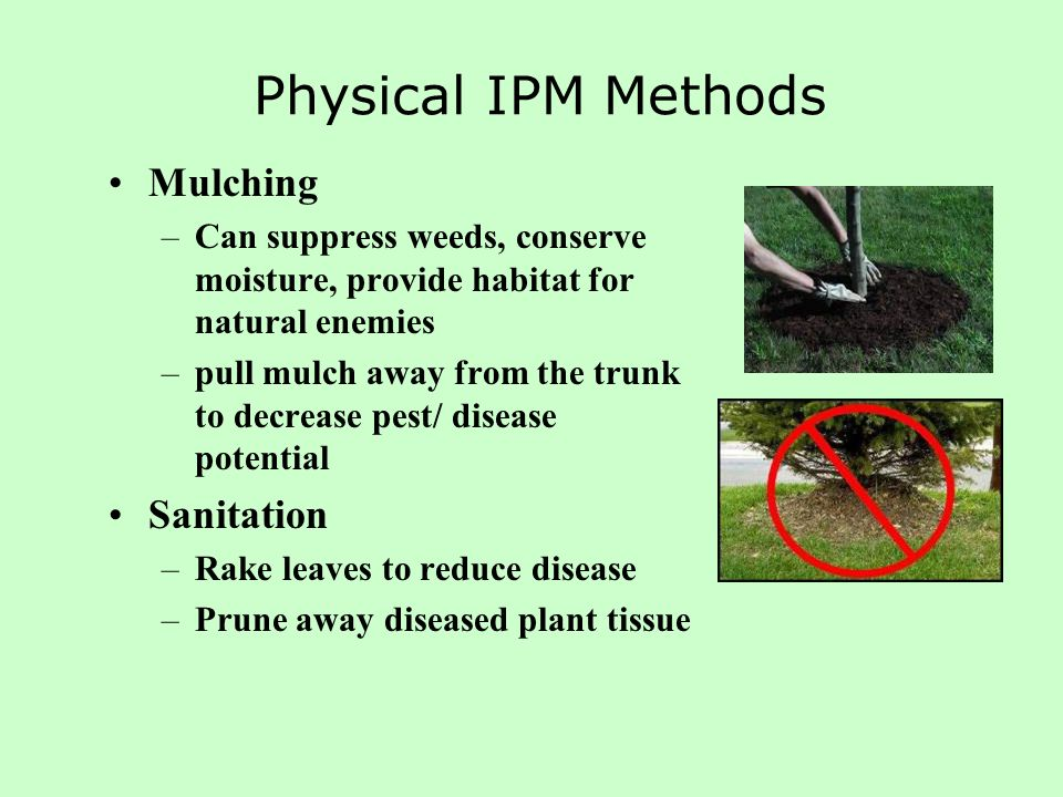 Physical IPM Methods Mulching –Can suppress weeds, conserve moisture, provide habitat for natural enemies –pull mulch away from the trunk to decrease